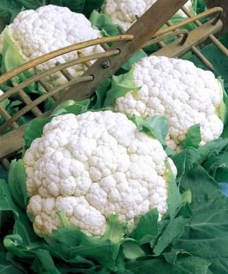 Форталеза F1, семена цветной капусты (Seminis / Семинис) - фото 4647