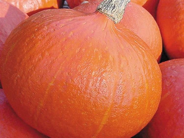 Оранж Саммер F1, семена тыквы (Enza Zaden / Энза Заден) - фото 4667