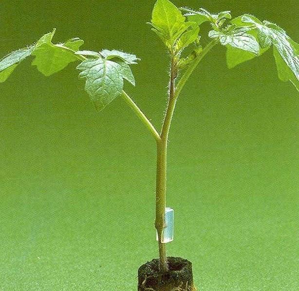 Максифорт F1, семена подвоя (De Ruiter Seeds / Де Ройтер Сидс) - фото 4686