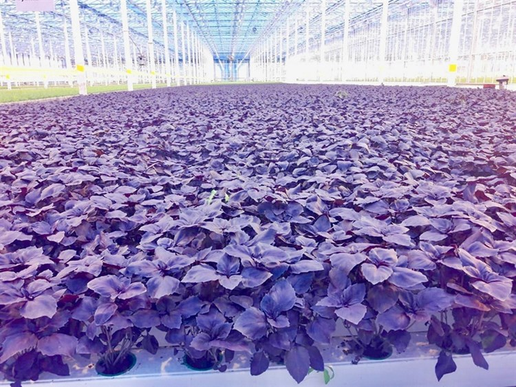 Вайолет, семена базилика фиолетового  (Wing Seed / Винг Сидс) - фото 4698