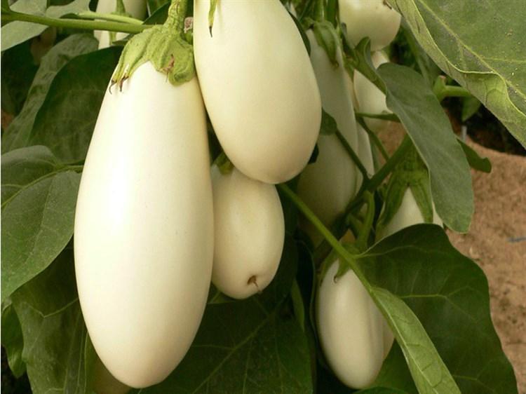 Бибо F1, семена баклажана (Seminis/Семинис) - фото 4731