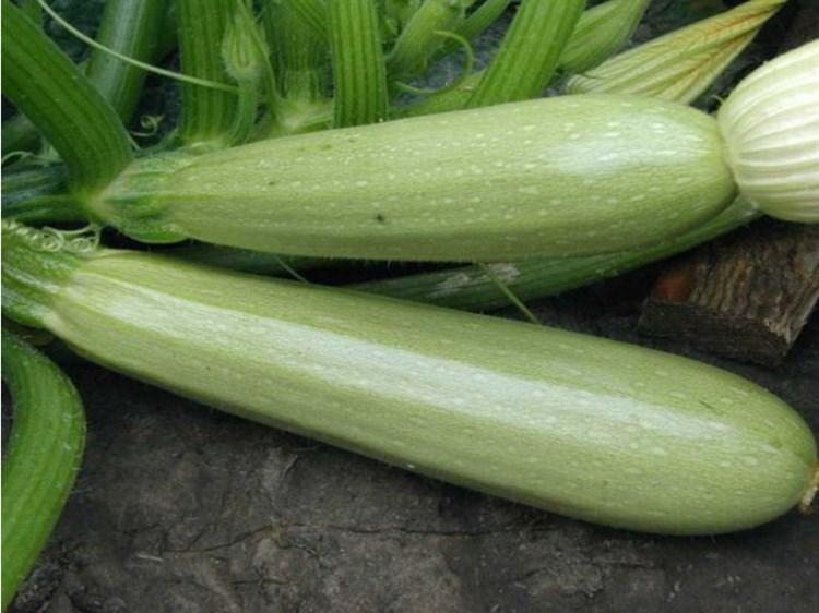 Иоланта F1, семена кабачка (Seminis / Семинис) - фото 4738