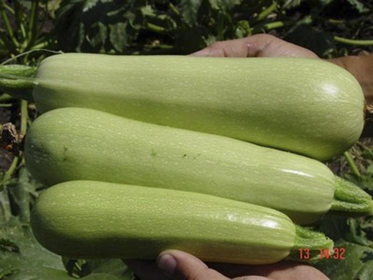 Марзука F1, семена кабачка (Seminis / Семинис) - фото 4739