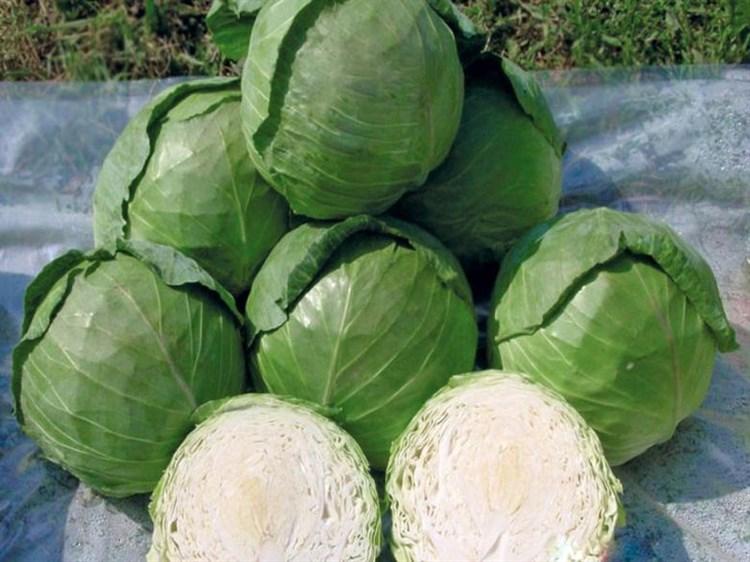 Заказ F1, семена капусты белокочанной (Seminis / Семинис) - фото 4748