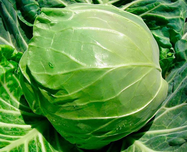 Рапидион F1, семена капусты белокочанной (Seminis / Семинис) - фото 4752