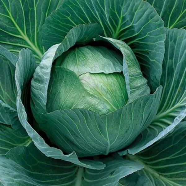Аммон F1, семена капусты белокочанной (Seminis / Семинис) - фото 4772