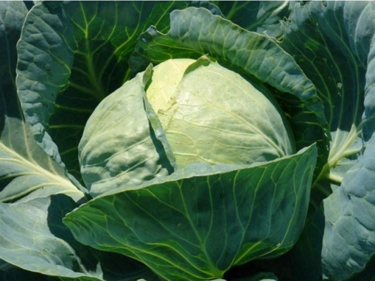 Фьюрис F1, семена капусты белокочанной (Seminis / Семинис) - фото 4783