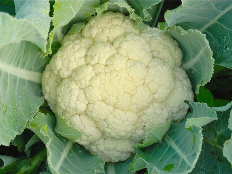 Фридом F1, семена цветной капусты (Seminis / Семинис) - фото 4801