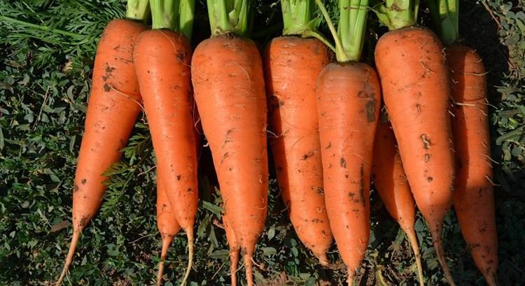 СВ 7381 F1, семена моркови (Seminis / Семинис) - фото 4830