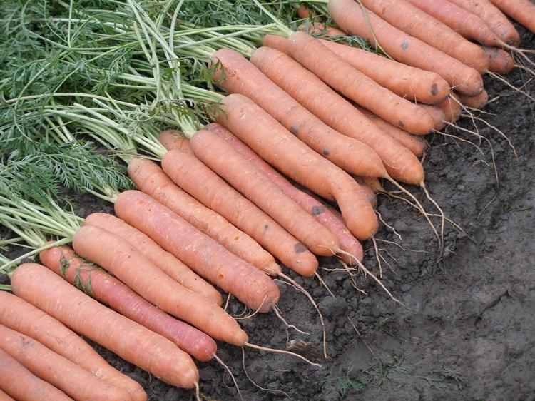 Карвора F1, семена моркови (Seminis / Семинис) - фото 4835