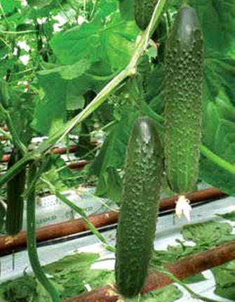 Гефест F1, семена огурца партенокарп. (Seminis / Семинис) - фото 4866