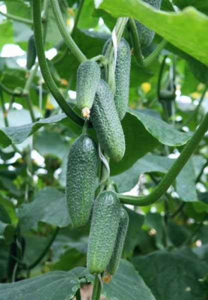 Корентин F1, семена огурца партенокарпик (Seminis / Семинис) - фото 4877