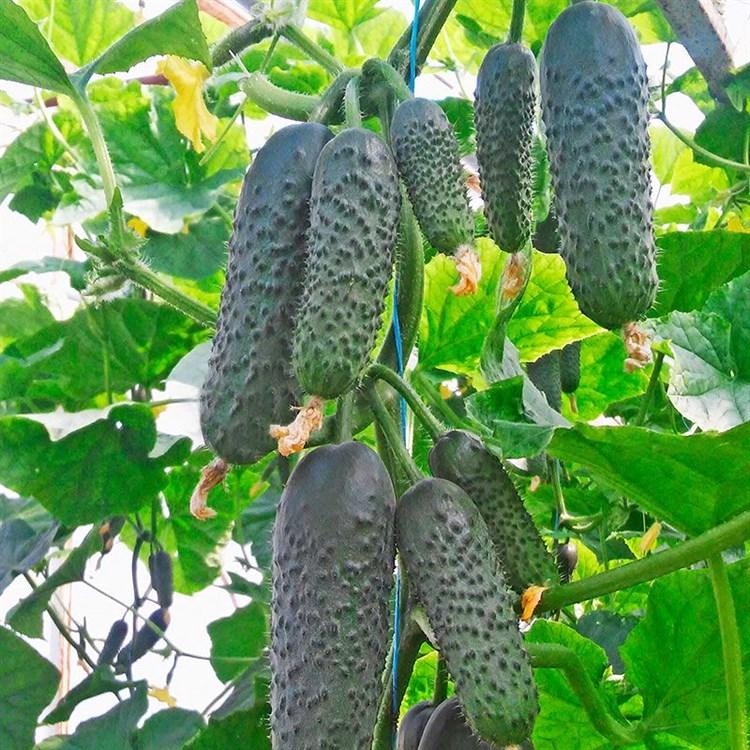 Мадрилене F1, семена огурца партенокарп. (Seminis / Семинис) - фото 4879