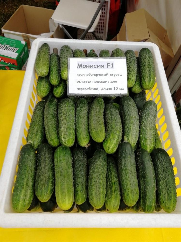 Монисия F1, семена огурца партенокарп. (Seminis / Семинис) - фото 4896