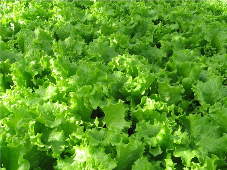СВ 3035, семена салата  (Seminis/Семинис) - фото 4928