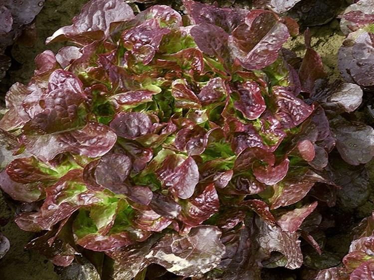 Вулсини, семена салата (Seminis / Семинис) - фото 4932
