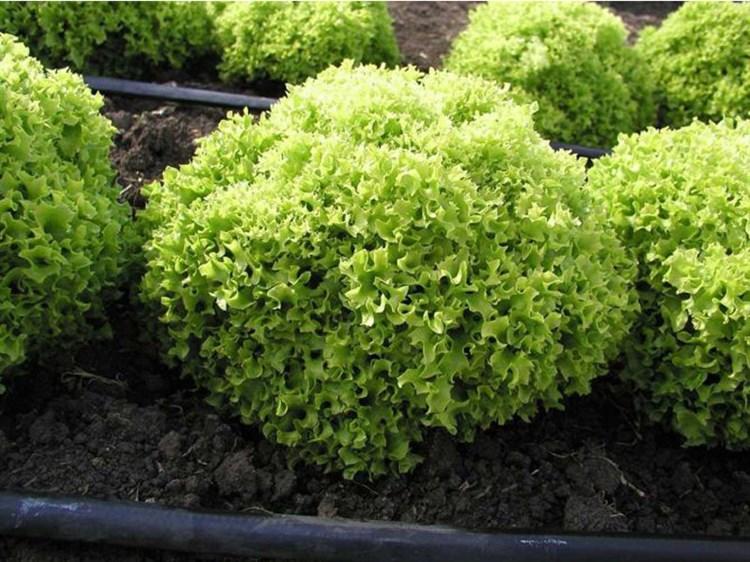 Касабелла, семена салата  (Seminis/Семинис) - фото 4933