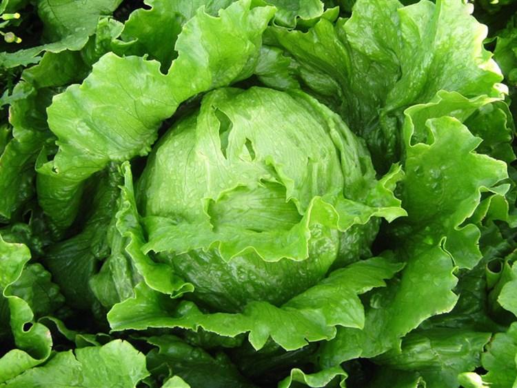 Сталлион, семена салата  (Seminis/Семинис) - фото 4936