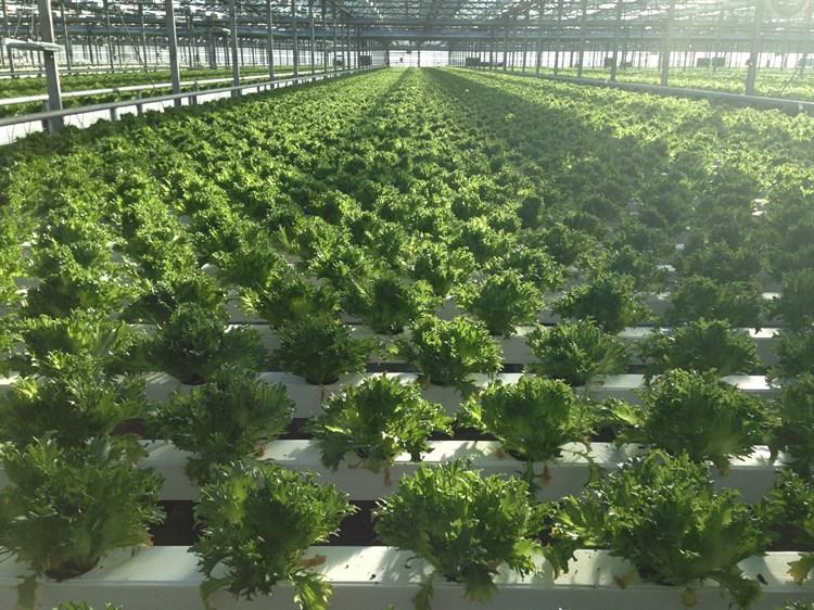 Фриллис, семена салата (Seminis/Семинис) - фото 4939