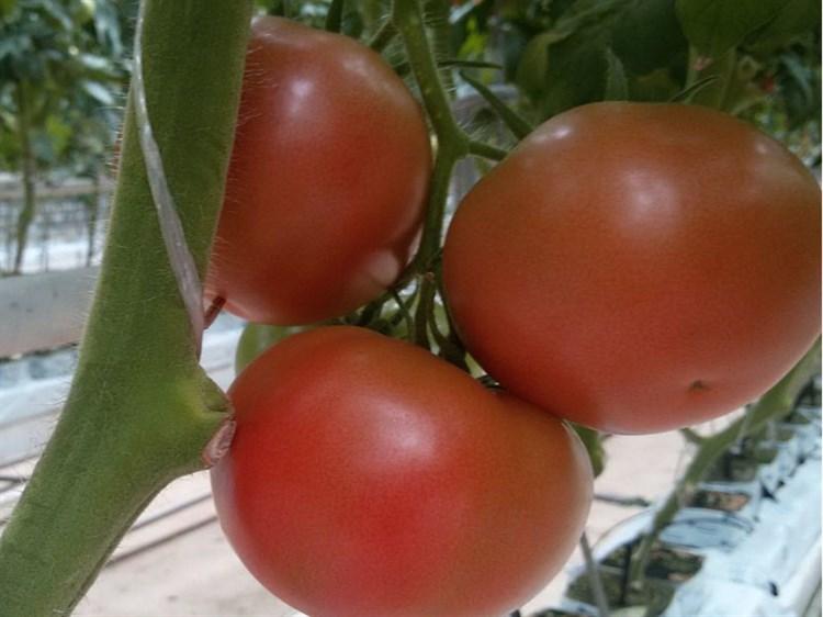 3725 F1, семена томата индетерминантного (Seminis/Семинис) - фото 4945