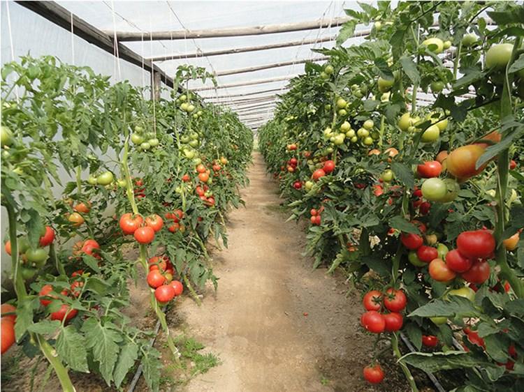 Канна 218 F1, семена томата индетерминантный (Seminis / Семинис) - фото 4949