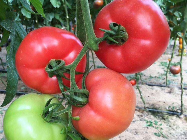 Компак F1, семена томата индетерминантный (Seminis / Семинис) - фото 4952