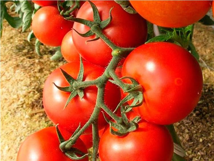 Энигма F1, семена томата индетерминантный (Seminis / Семинис) - фото 4973