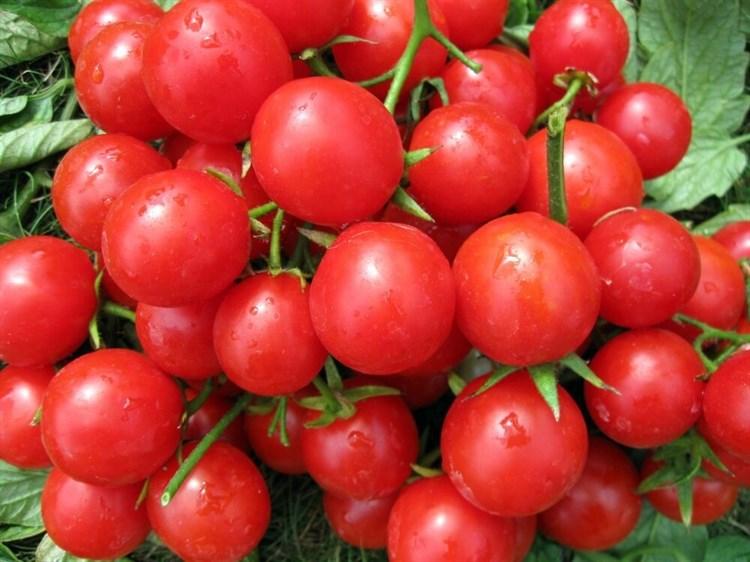 ТО 1435 F1, семена томата полудетерминантный (Seminis / Семинис) - фото 4984