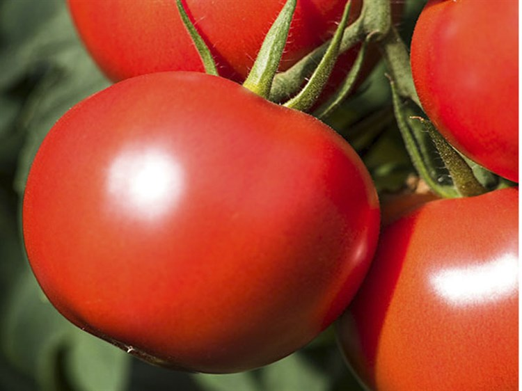 Дебют F1, семена томата детерминантный (Seminis / Семинис) - фото 4988