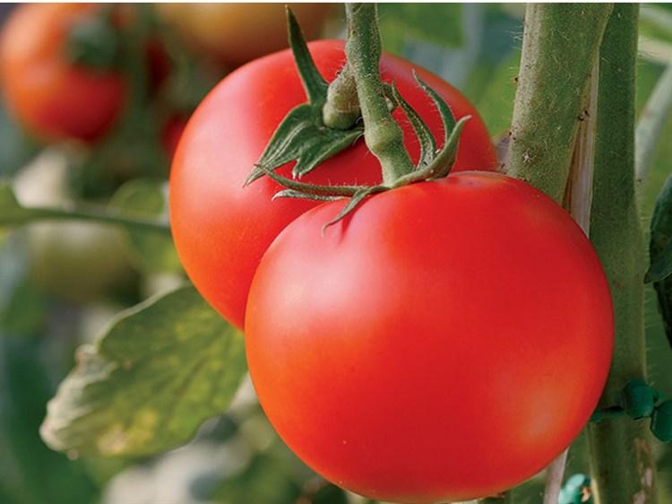 Флорида F1, семена томата детерминантный (Seminis / Семинис) - фото 5017
