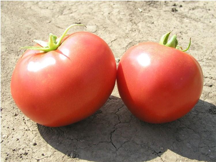 Элегро F1, семена томата детерминантный (Seminis / Семинис) - фото 5022