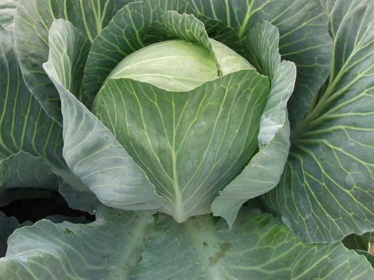 Саратога F1, семена капусты белокочанной (Bejo / Бейо) - фото 5035