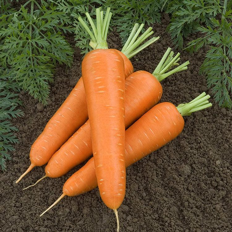 Канада F1, семена моркови (Bejo / Бейо) - фото 5095