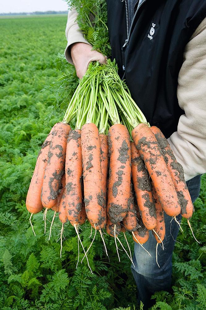 Балтимор F1, семена моркови (Bejo / Бейо) - фото 5102