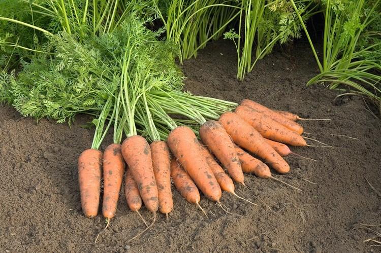 Купар F1, семена моркови (Bejo / Бейо) - фото 5123
