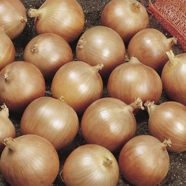 Спирит F1, семена лука репчатого (Bejo / Бейо) - фото 5125