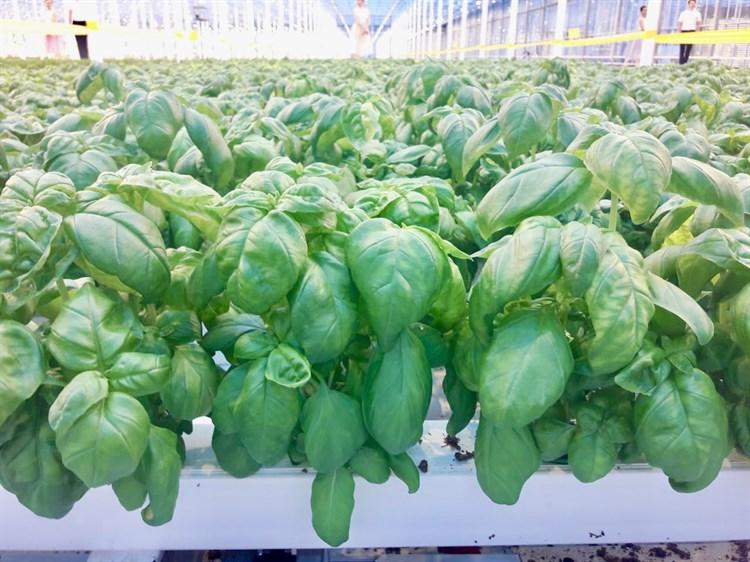 Зелёный Ароматный, семена базилика зелёного (Wing Seed/Винг Сидс) - фото 5142