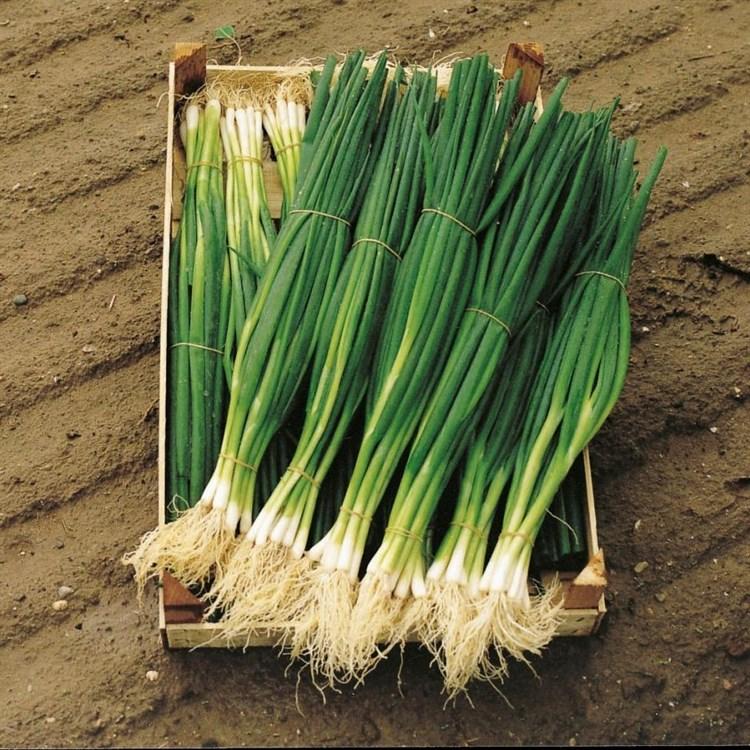 Параде, семена лука на зелень (Bejo / Бейо) - фото 5193