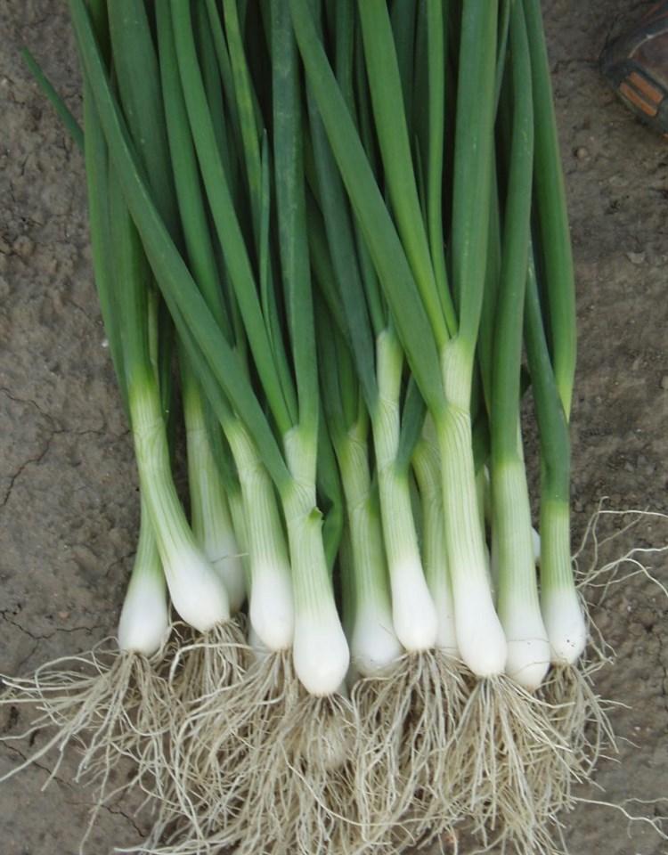Перформер, семена лука на зелень (Bejo / Бейо) - фото 5195