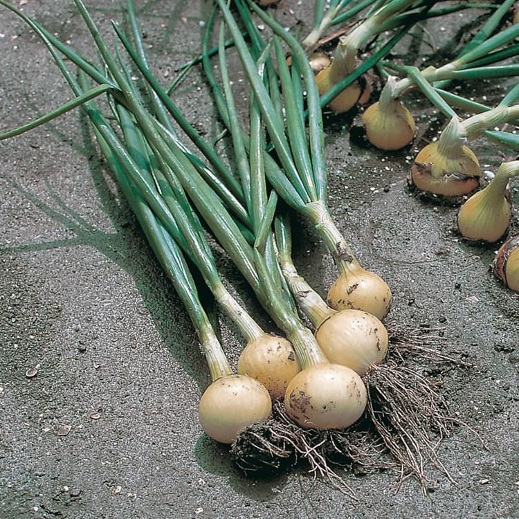 Свифт, семена лука репчатого (Bejo / Бейо) - фото 5235