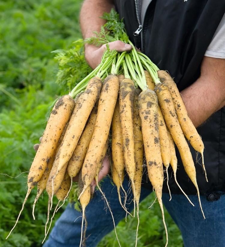 Мелло Йело F1, семена моркови (Bejo / Бейо) - фото 5240