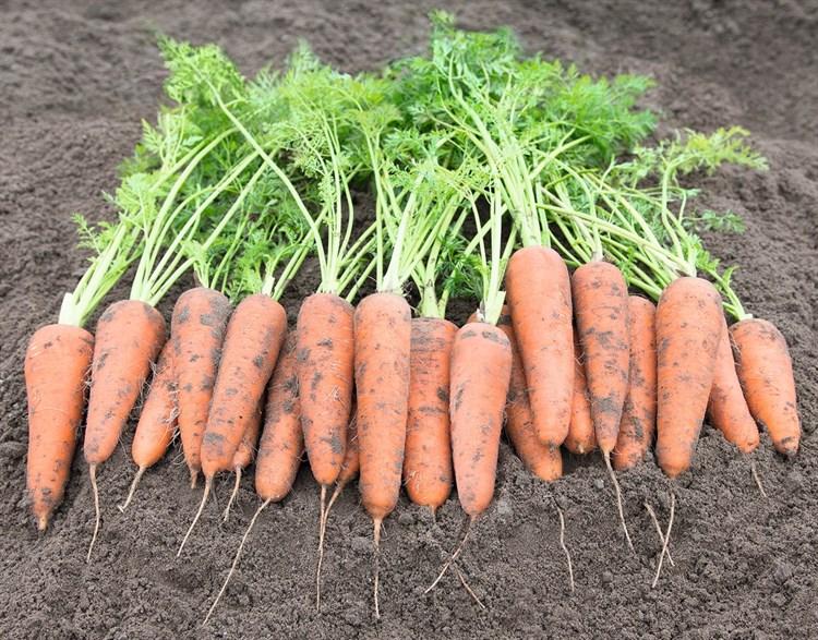 Кантербюри F1, семена моркови (Bejo / Бейо) - фото 5245