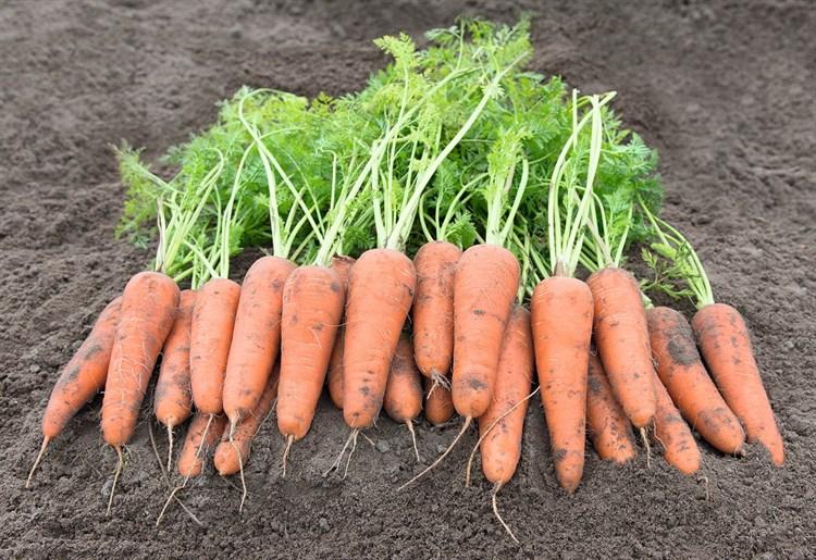 Канберра F1, семена моркови (Bejo / Бейо) - фото 5248