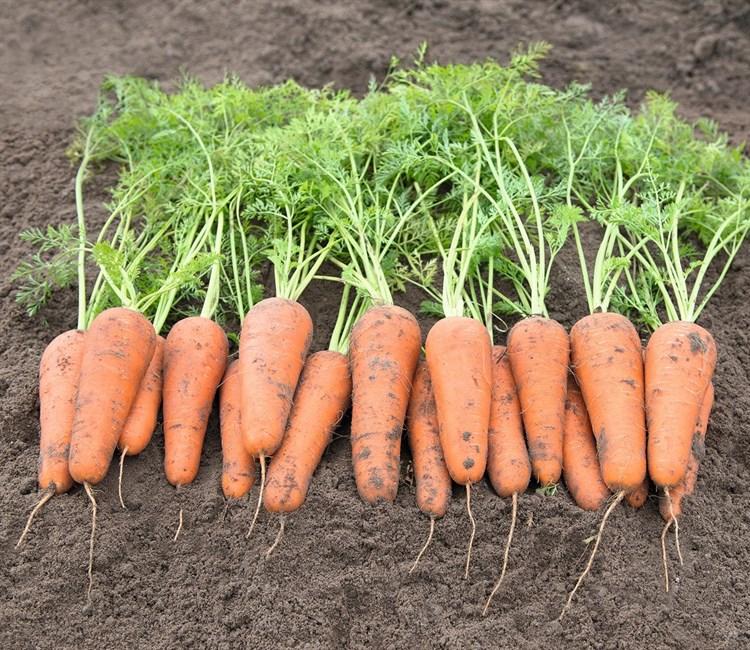 Кесена F1, семена моркови (Bejo / Бейо) - фото 5249