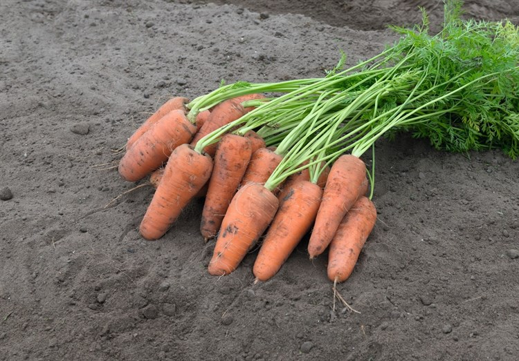 Кюрасао F1, семена моркови (Bejo / Бейо) - фото 5250