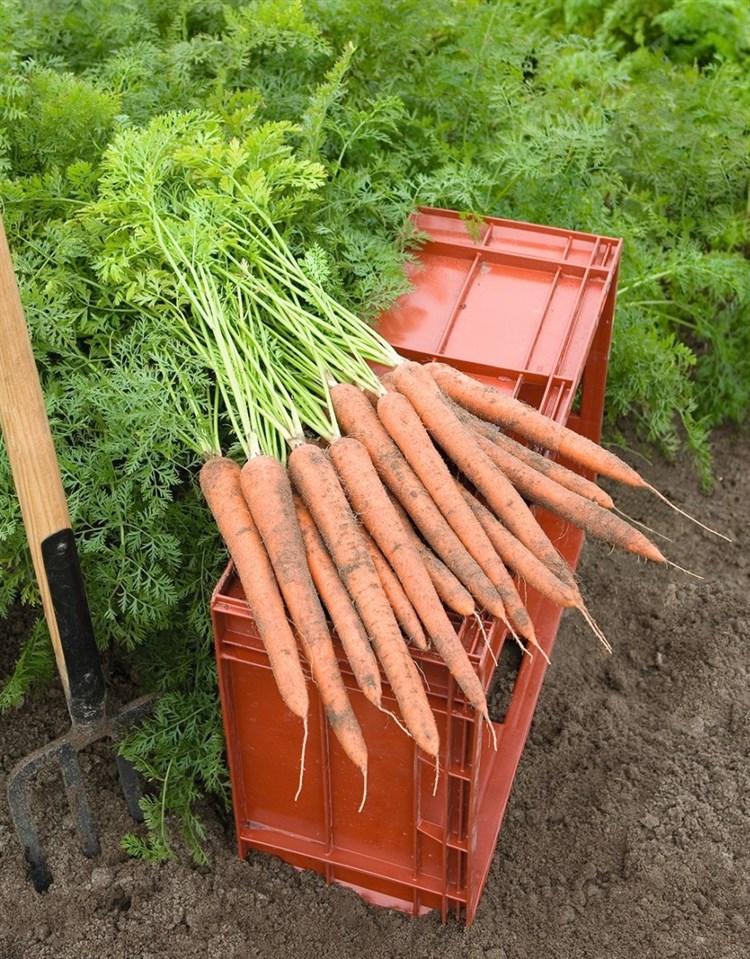 Ибица F1, семена моркови (Bejo / Бейо) - фото 5251