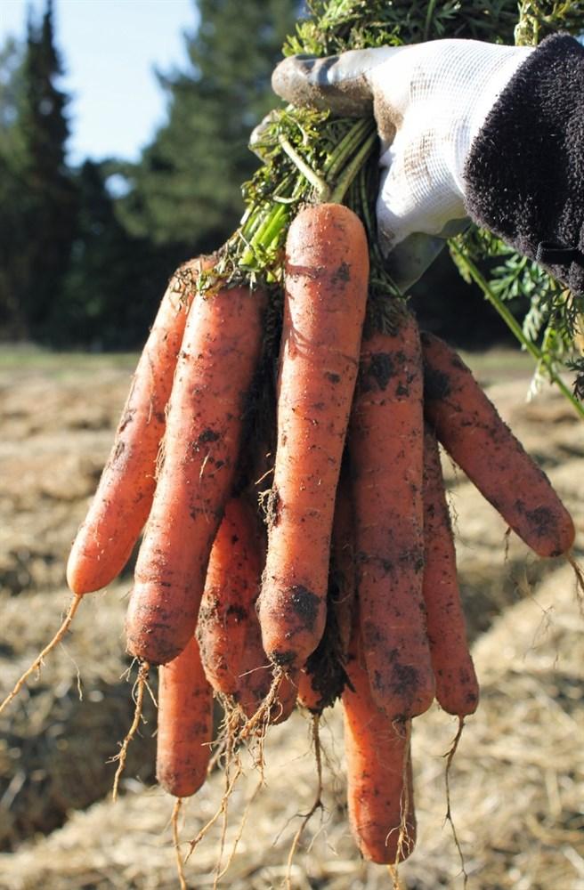Натуна F1, семена моркови (Bejo / Бейо) - фото 5253