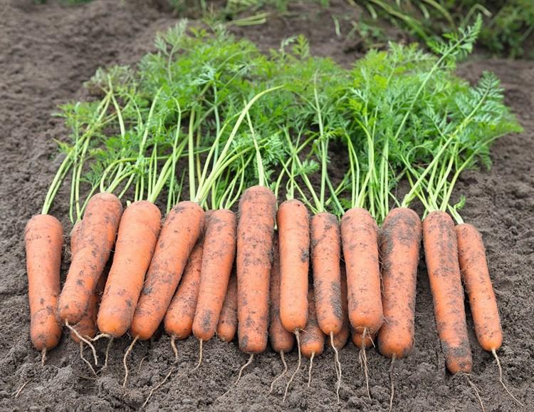 Намибия F1, семена моркови (Bejo /  Бейо) - фото 5254