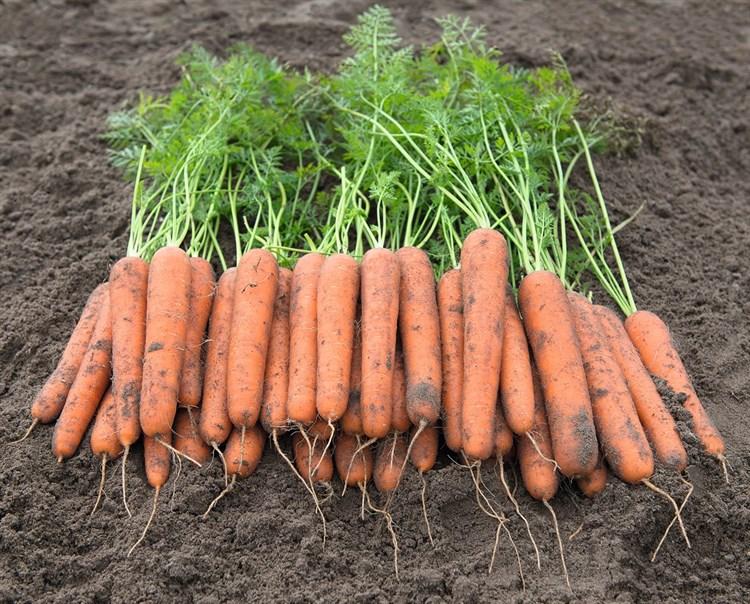 Навара F1, семена моркови (Bejo / Бейо) - фото 5256