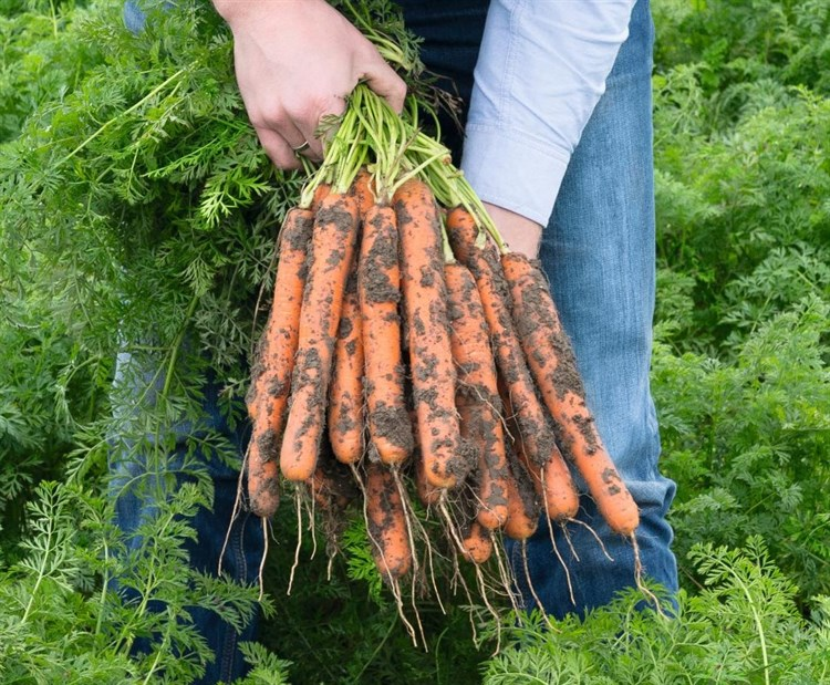 Нерак F1, семена моркови (Bejo / Бейо) - фото 5257
